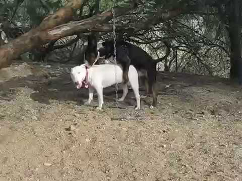 Successful Bull Terrier Breeding
