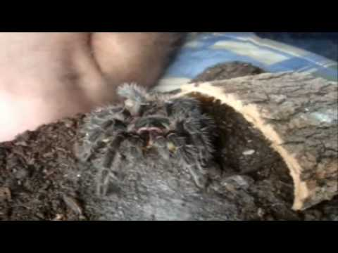 Tarantula Feeding Video 49 with 53 Ts - Dedicated to Zilla + RobC - 900th video
