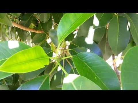 Ficus tree - Top 10 Bonsai HD 07