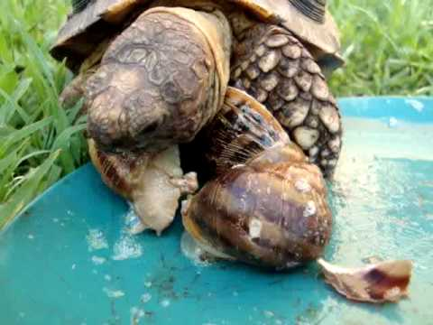 La tortuga come caracoles youtube for Caracol de jardin que come