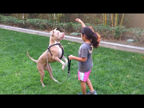 Pitbull and 6 year old girl - young dog trainer