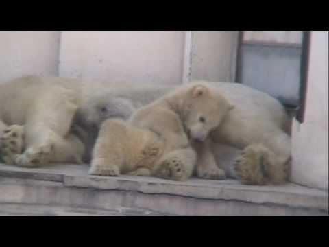 20090409 円山動物園 ホッキョクグマの双子
