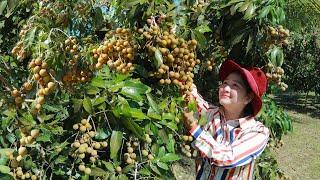 Harvest Longan Fruit In My Village