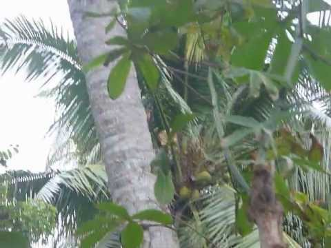Sri Lanka,ශ්රී ලංකා,Ceylon,Woodpecker Coconut Tree
