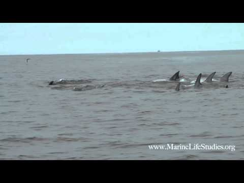 Deep Breathing With Risso's Dolphins