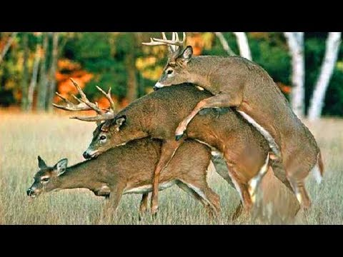 Gay Animals . Homosexuality Is Natural video