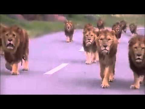 集団でライオンが道路を歩くさまが貫録ありすぎ!