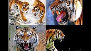 Điểm lại 3 vụ hổ tấn công kinh hoàng khiến 2 người tử vong ở Bình Dương