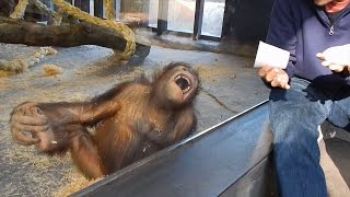 Do Orangutans Understand Magic?
