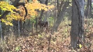 Horne y Buck in rut does a doe, then turns to Photographer?
