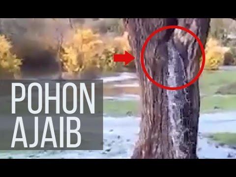 ANEH dan AJAIB Air keluar terus menerus dari batang pohon kering