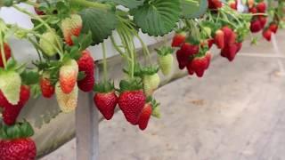 Vườn dâu Hoa Thắng Thịnh Đà Lạt - Vườn dâu Mỹ cho tham quan tại vườn