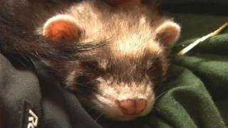 How To Take Care Of Ferrets