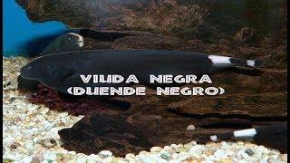 PEZ VIUDA NEGRA-PEZ CUCHILLO NEGRO-DUENDE NEGRO(Apteronotus Albifrons )