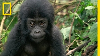 How One Orphaned Gorilla Inspired Her to Save Hundreds More | National Geographic