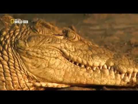 Гиганты мира животных Крокзила