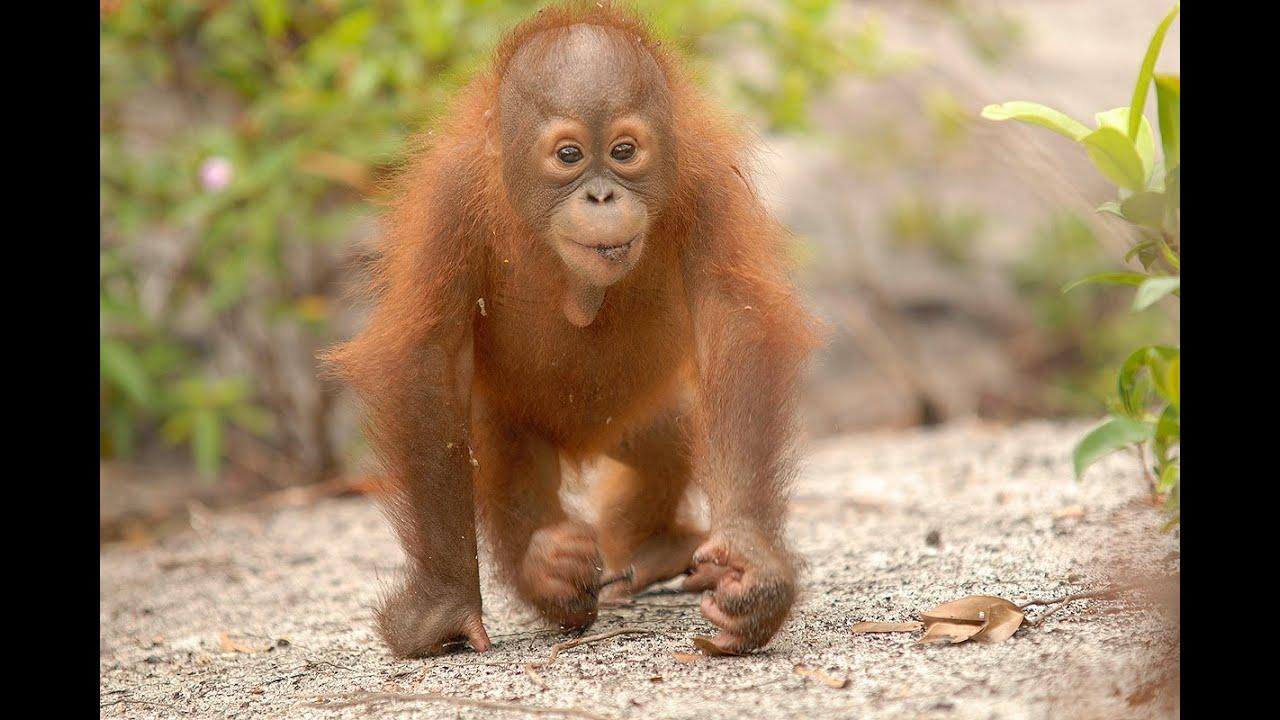 Smiling baby orangutan - photo#14