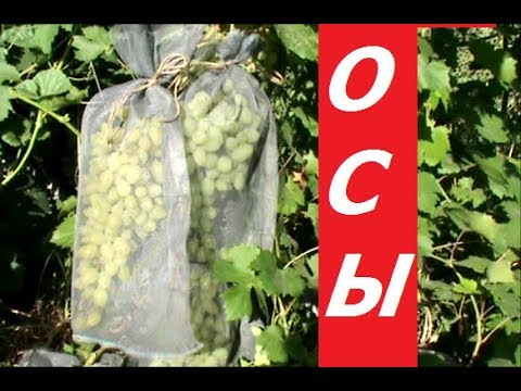 Защита винограда  от ОС  Шьем дома мешочки из сетки