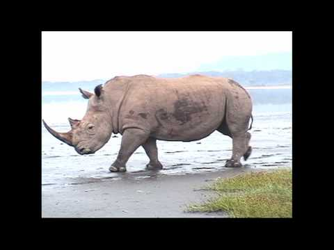 Close Call with a Rhino;  Lake Nakuru, Kenya
