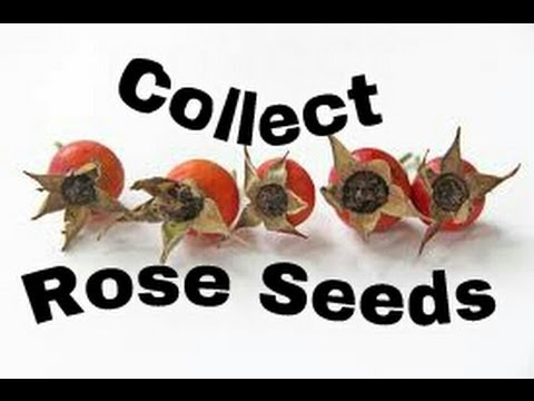 How To Collect And Save Rose Seeds From Rose Hips Youtube: collect and save