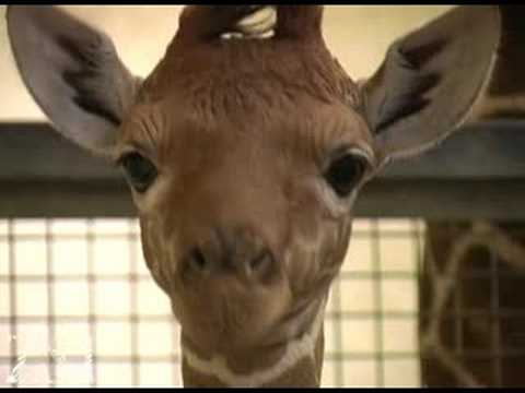 Baby giraffe up close