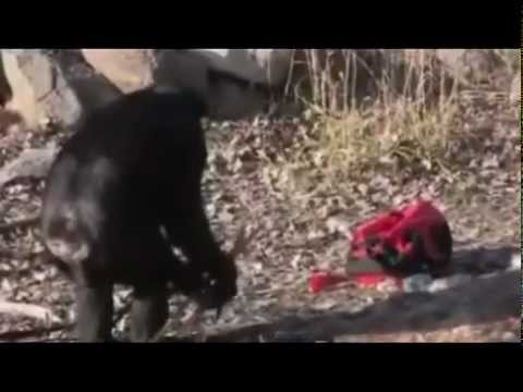 AMAZING!! Smart Chimpanzee Start Fire with LIGHTER & Put Out Fire....
