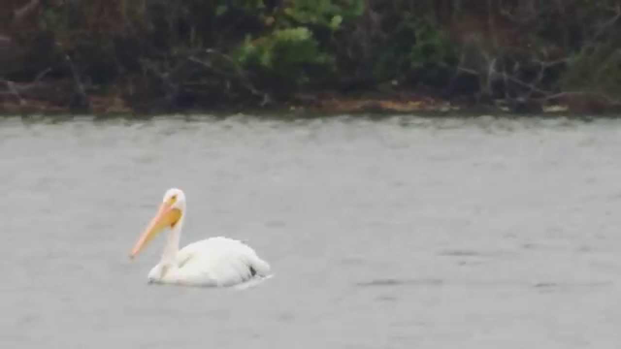 White pelican fishing 10 13 14 clinton lake il youtube for Clinton lake fishing report
