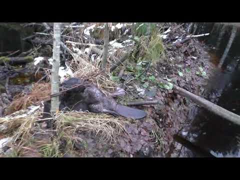 как ловить енотовидную собаку капканами
