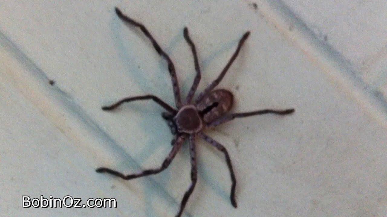 Brown Huntsman Spider From Australia Youtube