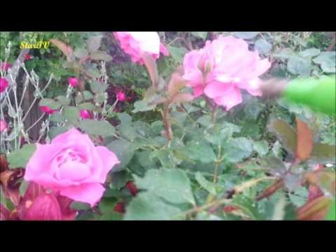 Oprysk Róże Mój Ogród Choroby Kwiatów,rdzawe Liście