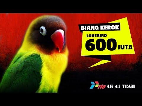 Lovebird BIANG KEROK & BETET 500 JUTA Adu Ngekek Durasi Panjang