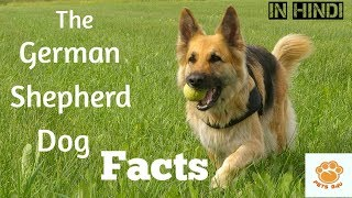 The German Shepherd dog facts in hindi - interesting dog facts in hindi-pets B4U