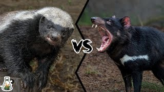 HONEY BADGER VS TASMANIAN DEVIL  - Who Would Win?