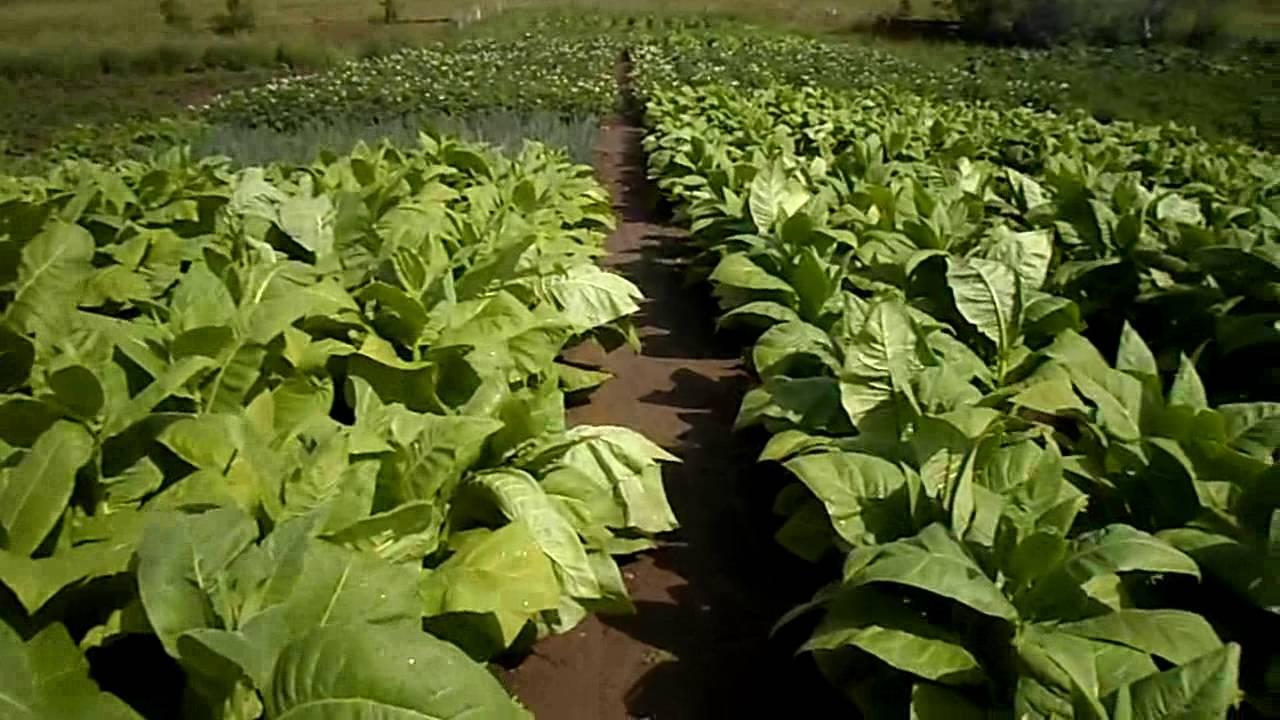 Сорта махорки для выращивания в сибири 80