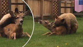 Download Rare moment caught on camera as bear mauls deer in Colorado backyard - TomoNews 3Gp Mp4