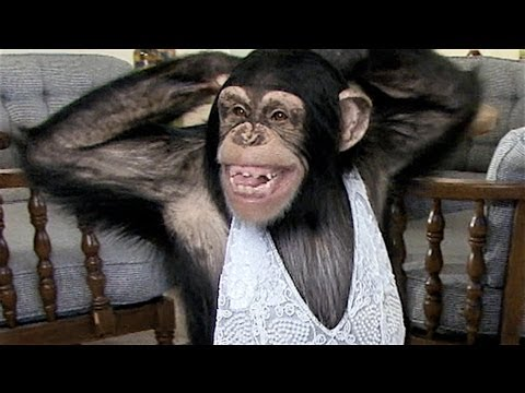 Funny Chimp Learns to Sexy Dance!
