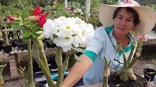 Rosa do Deserto: enxerto BALÃOZINHO aprenda a fazer