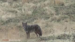 Eastern Oregon Coyote Hunting \