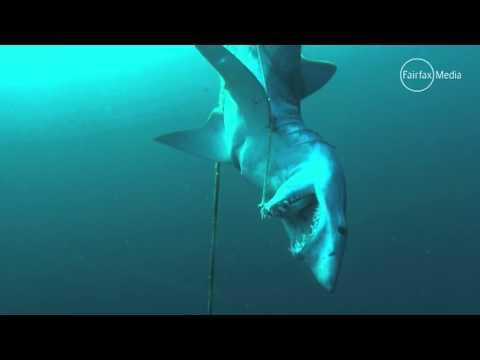 El misterio del tiburón hallado muerto y atado bajo el mar