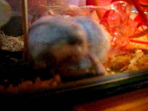 Hamster Winter White XXX