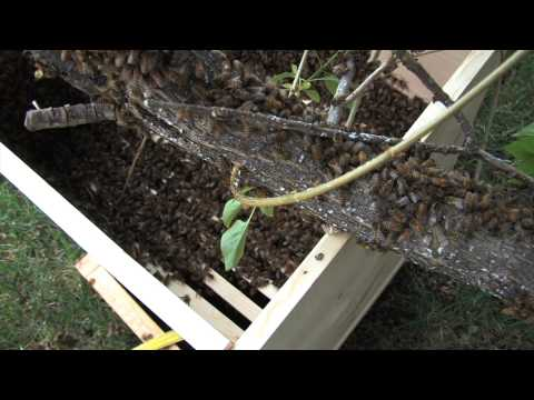 Capturing A Bee Swarm   May 2014