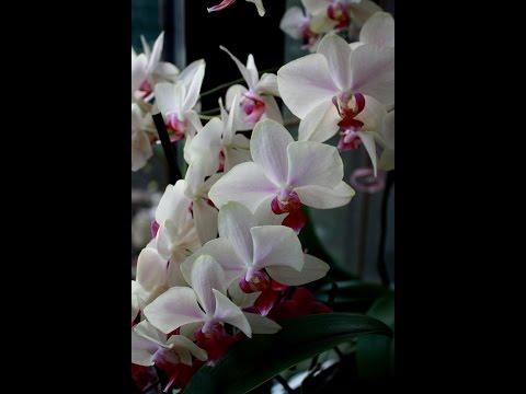 Полив орхидей  Фаленопсис погружением в воду.