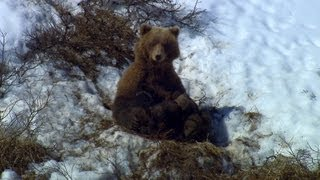 Bear Family in Avalanche Country | North America