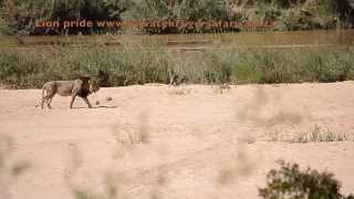 Lion pride on the move in the Sand River Kruger Park