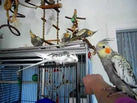 Nymphensittiche ** Lustige Akrobaten ** Fliegen ist für Nymphensittiche das Größte