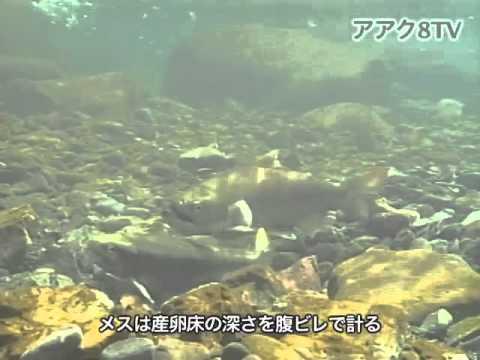 アアク8TV水中映像 ×Goovie 岐阜県の魚類20 サツキマスの産卵