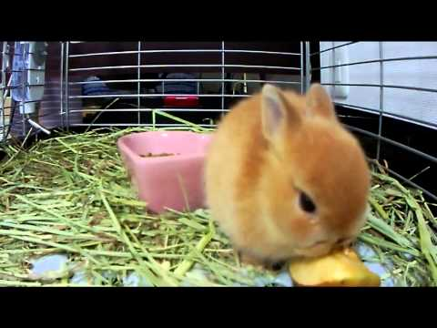Cute bunny Rabbit eating an apple Part.1 Netherland Dwarf
