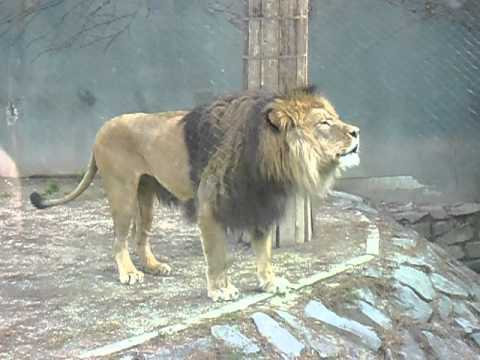 Barbary Lion Roaring video
