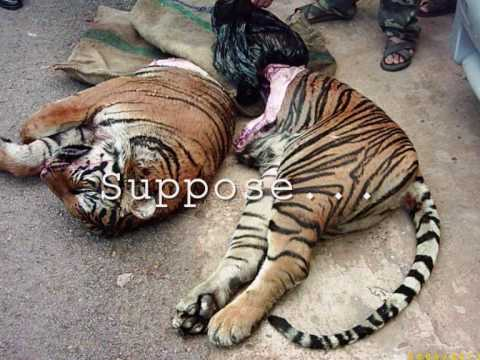 SAVE OUR TIGERS must watch..it's different..