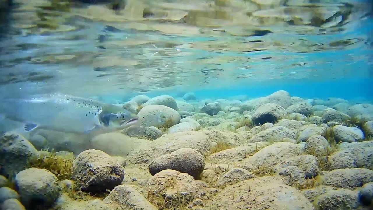 Fly Underwater Underwater Fly Fishing